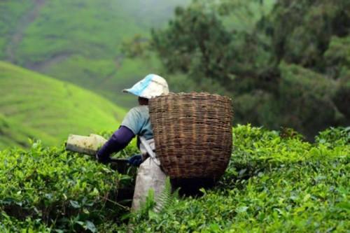 Сборщик листьев чая в Китае
